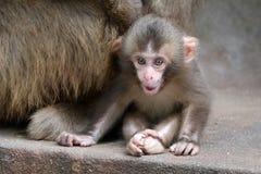 Bébé japonais de singe Photographie stock libre de droits