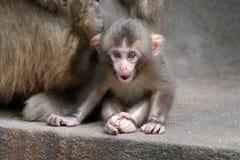 Bébé japonais de singe Photos stock