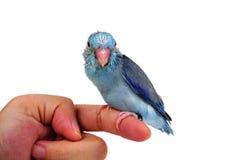 Bébé mignon Parrotlet Pacifique, coelestis de Forpus, étés perché contre Images stock