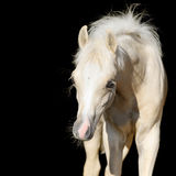 Bébé nouveau-né de cheval, poulain de poney de gallois d'isolement sur le noir Photo stock