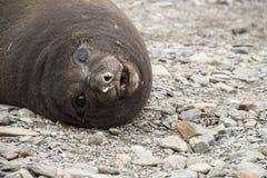 Bébé phoque antarctique d'éléphant Image libre de droits