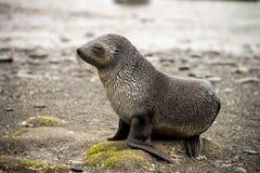 Bébé phoque de fourrure Photos libres de droits