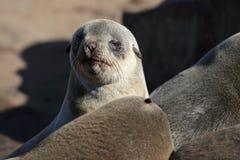 Bébé phoque de fourrure, côte squelettique, Namibie Photographie stock libre de droits