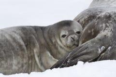 Bébé phoque de Weddell qui s'est penché sa tête sur Images stock