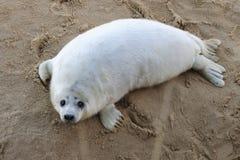 Bébé phoque gris Photo libre de droits