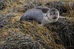 Bébé phoque gris Image libre de droits