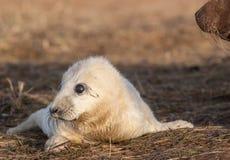 Bébé phoque gris Image stock