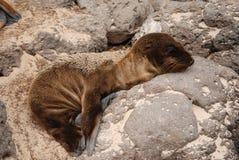 Bébé phoque lézardant en soleil sur des îles de Galapagos images libres de droits
