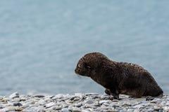 Bébé phoque très jeune de fourrure, sur une plage rocheuse contre l'eau bleue glaciaire, plaine de Salisbury, la Géorgie du sud photo stock