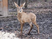 Bébé rouan d'antilope Image stock