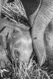 Bébé sauvage d'éléphant Photos libres de droits