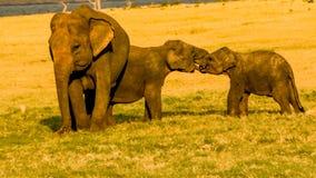Bébés d'éléphant jouant avec amour Images stock