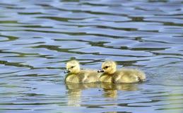Bébés d'oison d'oie de Canada nageant, la Géorgie Etats-Unis Photos stock