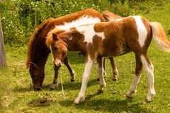 Bébés de cheval de Minnie Images stock