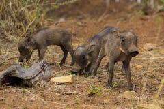 Bébés de phacochère marchant autour Photos libres de droits