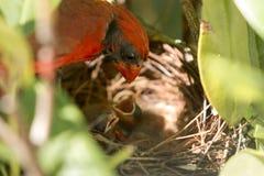 Bébés de regard cardinaux masculins dans le nid Photos stock