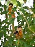 Bébés de singe-écureuil dans l'arbre, carate, dulce de golfo, Costa Rica Image libre de droits