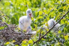 Bébés de Woodstork sur le nid photo stock