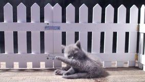 Bébés des Anglais Shorthair près d'une barrière blanche banque de vidéos