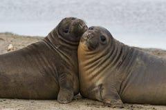 Bébés phoques d'éléphant - Falkland Islands Photographie stock libre de droits