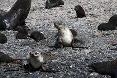 Bébés phoques de fourrure sur la plage photo libre de droits