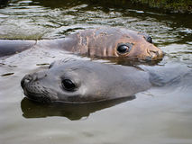 Bébés phoques mignons d'éléphant (leonina de Mirounga) nageant, Antarctique Photos libres de droits