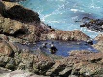 Bébés phoques se baignant, point d'Ohau, Nouvelle-Zélande Photo libre de droits