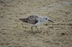 Bécasseau dans le sable Image stock