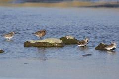 Bécasseau de courlis cendré se tenant sur une roche sur une berge, entourée Photo stock