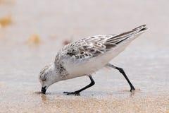 Bécasseau de Sanderling (Calidris alba images libres de droits