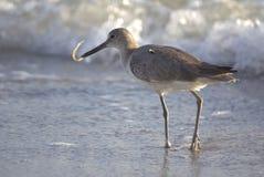 Bécasseau mangeant sur le rivage Image stock