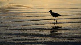 Bécasseau sur la plage Image stock