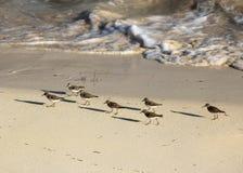 Bécasseaux défilant dans le sable le long de Shoreline côtier image libre de droits