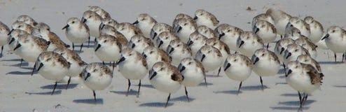 Bécasseaux sur une plage de la Floride photographie stock libre de droits