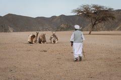Bédouin et chameaux Photo stock