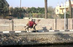 Bédouin sur le chameau au Caire images stock
