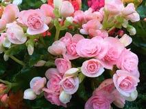 bégonia Begoniaceae Fleur en forme de coeur image libre de droits