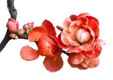 Bégonia (Chaenomeles ou pomme sauvage chinoise de floraison) sur le fond blanc. Image libre de droits