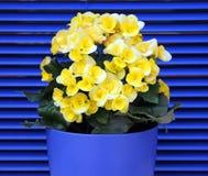 Bégonia de floraison jaune sur un fond des volets bleus Image libre de droits