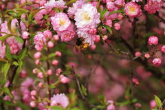 Bégonia et abeilles photos stock