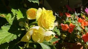 Bégonia jaune Image libre de droits