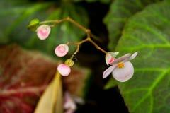 Bégonia rose Photographie stock libre de droits
