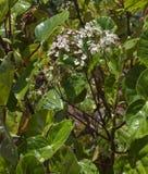 Bégonias en Costa Rica Photo stock