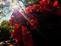 Bégonias rouges dans le jardin ensoleillé photo libre de droits