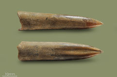 Bélemnite - palourde fossile Photo libre de droits