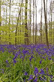Bélgica, Vlaanderen Flanders, Halle A campainha floresce Hyacint fotografia de stock royalty free