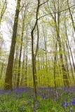 Bélgica, Vlaanderen Flanders, Halle A campainha floresce Hyacint imagem de stock