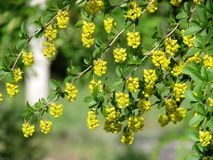 Bérberis bonita na primavera Imagens de Stock