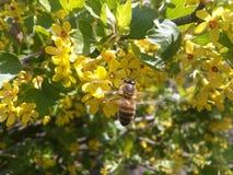 Bérberis, flores amarelas, abelha, arbustos de florescência, flores da bérberis, polinização das plantas, jardim, bagas crescente Fotografia de Stock Royalty Free