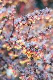 Bérberis magnífica do arbusto Fotografia de Stock Royalty Free